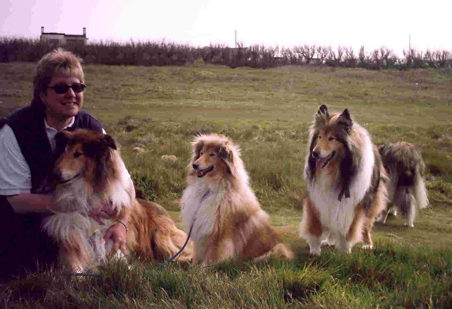 rough collie rehoming